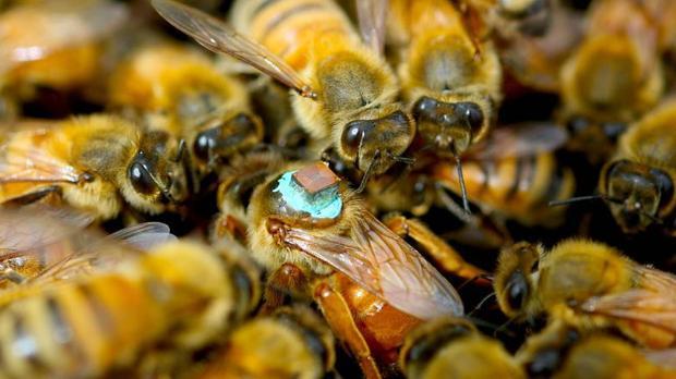 Las abejas utilizadas en el experimento