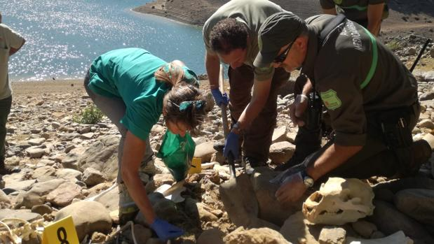 Trabajadores de la Consejería de Fomento y Medio Ambiente recogen los restos óseos del Oso