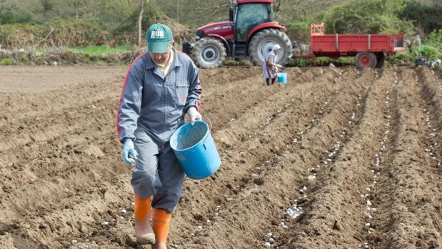 Un hombre planta patatas en una finca de la provincia de Lugo
