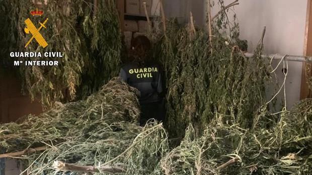 Plarte de las plantas de marihuana intervenidas en la provincia de Huesca