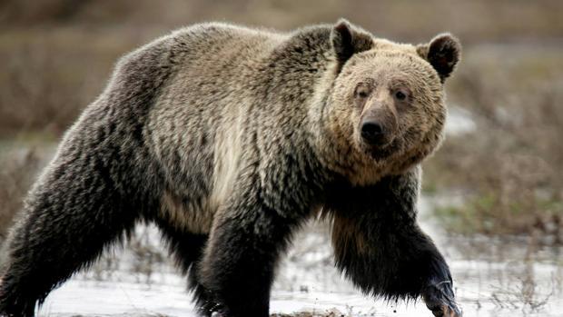 Wyoming aprueba una polémica caza de osos grizzlies en las inmediaciones de Yellowstone
