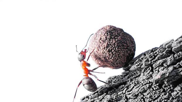 Las hormigas falsean datos climáticos