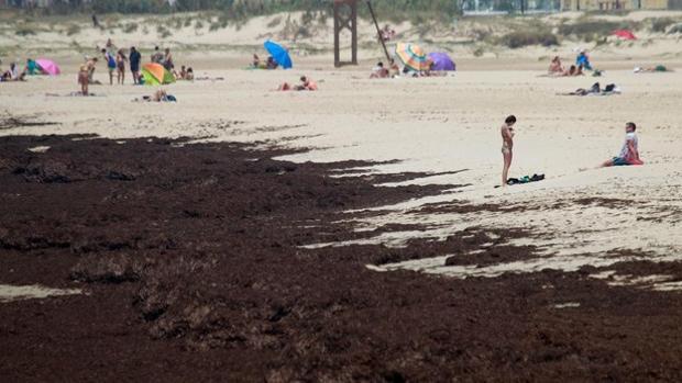 Presencia de algas invasoras en las playas del Campo de Gibraltar.
